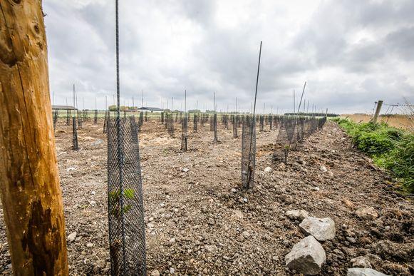 De druivenstokken steken nu zowat tien centimeter boven de grond uit
