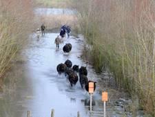 Utrechts Landschap wil galloway-runderen droog houden