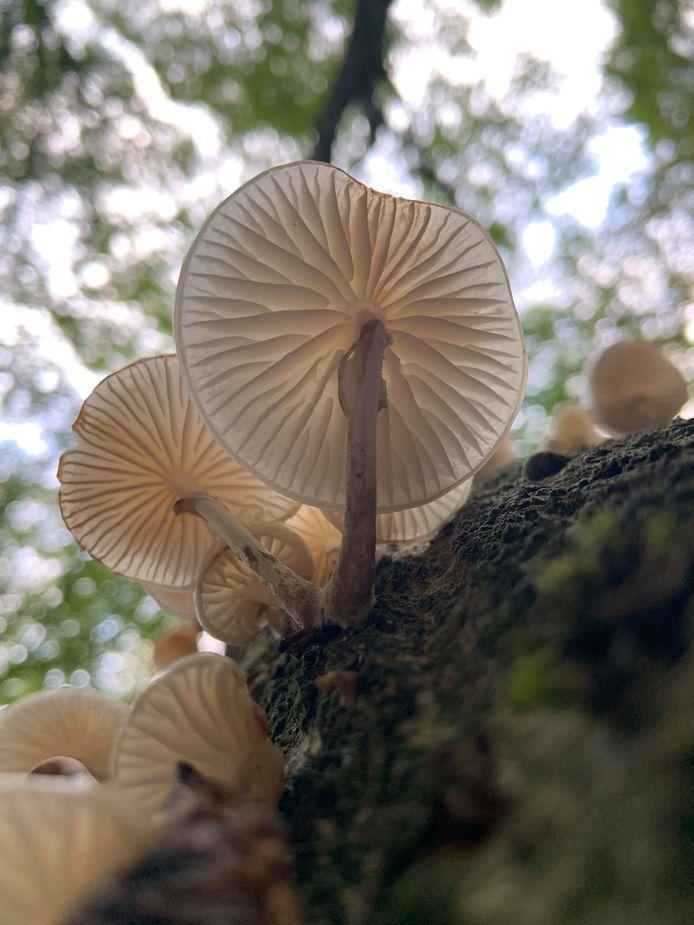 Chantal Potgieter fotografeerde deze porseleinzwammen in het Edese bos.