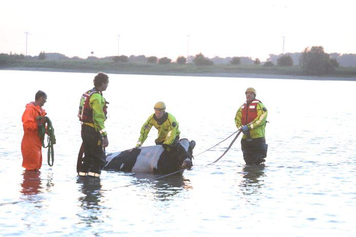 Koe door de brandweer uit het water getrokken bij Hurwenen.