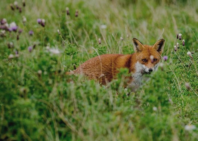 Strijenaar Zeeg Robbemond zag een vos in de Hoeksche Waard en maakte snel een foto.