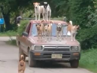 """""""Ze doen dat altijd"""": auto rijdt rond met zes honden op dak"""