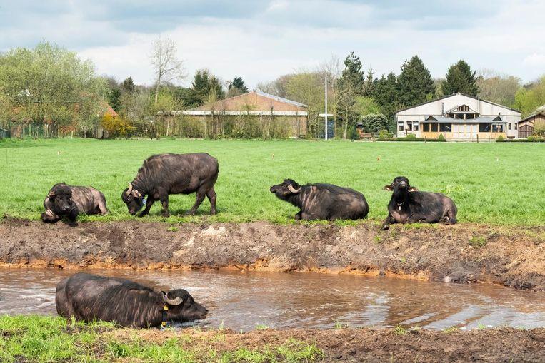 De waterbuffels liggen in en naast de zwemvijver.