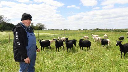 """Nu ook lammetjes gestolen in Holsbeek: """"Onmogelijk dat ze ontsnapt zijn"""""""