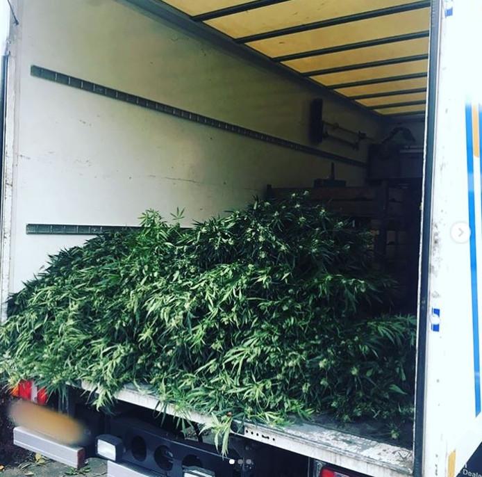 De wietplanten worden afgevoerd.