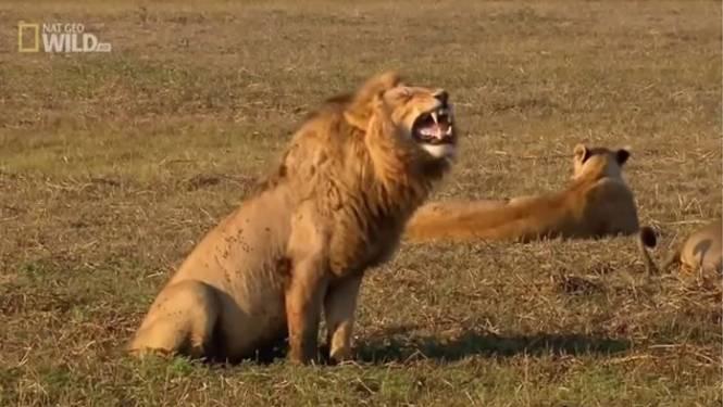 Leeuw 'lacht' zich te barsten