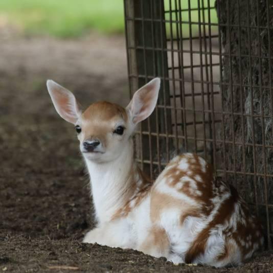 Eén van de twee hertenkalfjes in Pannerden die afgelopen week wel gezond ter wereld is gekomen.