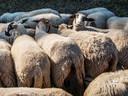 De schapen zijn niet echt sociaal gezelschap voor de herder.