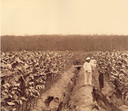 Een tabaksplantage in Indonesië, begin 1900.