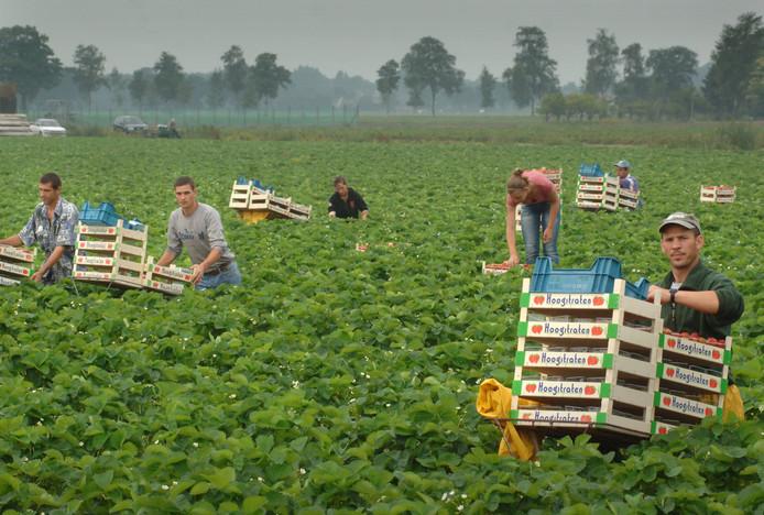 Zomerseizoen 2016, plukkers op het aardbeienveld. foto Ron Magielse/het fotoburo