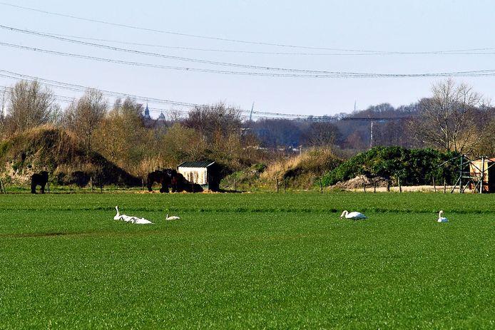Knobbelzwanen in weiland rond de Moerstraatseweg doen zich tegoed aan jong ingezaaid gras.