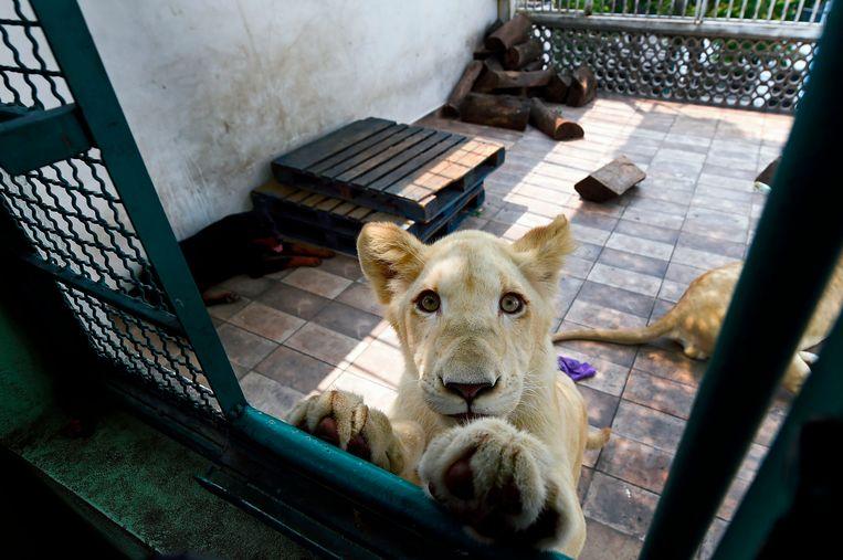 Numbi, één van de drie leeuwen die op het dakterras in Mexico City leven.