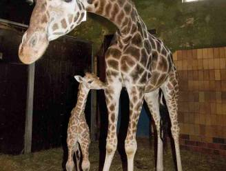 Deense dierentuin belooft dat giraf Marius-2 blijft leven