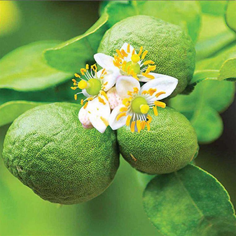 De bloemen geuren heerlijk zoet naar jasmijn — een echt plezier op je terras.