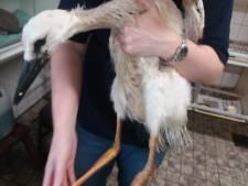 Eten van elastiekjes wordt jonge ooievaar in Schalkwijk fataal