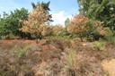 Verdorde heide in Nationaal Park Veluwezoom.