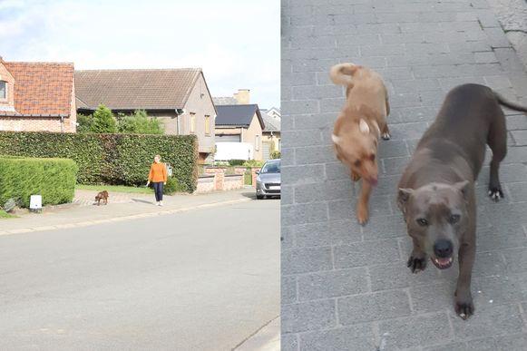 De honden terroriseren al enkele maanden de wijk Kriekenveld in Lembeek wanneer ze telkens ontsnappen uit de tuin van de baasjes.