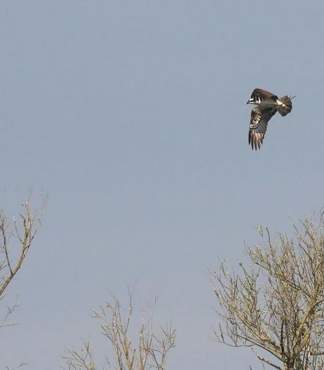 Wéér jonkies in het nest van de visarenden in de Biesbosch