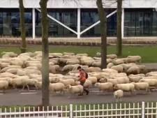 Even geen vrachtverkeer op de Vossenbeemd in Helmond, maar een kudde schapen