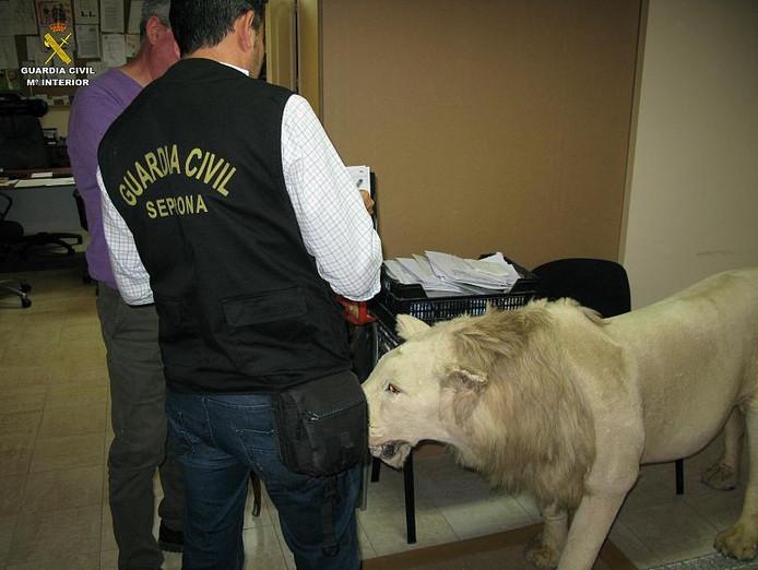 Een Spaanse agent bij een in beslag genomen opgezette  leeuw.