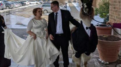 Een week goed nieuws: broer crasht trouwfeest van zijn zus met lama en andere verhalen die je blij maken