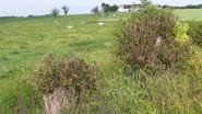 """""""Eigenaar van moedwillig vernielde knotwilgen in Zegelsem moet nieuwe planten. Anders doen wij het op zijn kosten"""", zegt milieuschepen"""