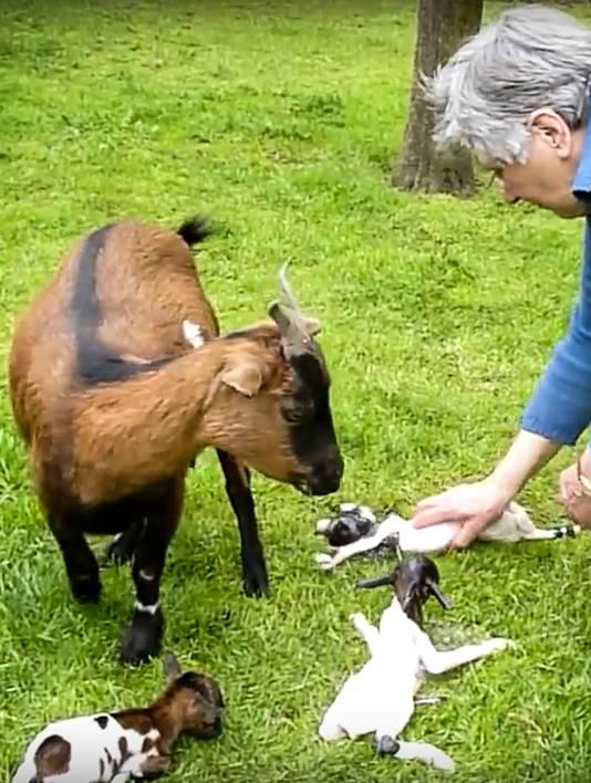 Een beeld uit de succesvolle video waarop de net geboren geitjes van Thea Goossens in Stevensbeek te zien zijn.