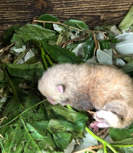 Un panda roux est né à Pairi Daiza
