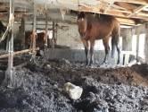 Stal in Oost-Brabant zo vol met paardenmest dat dieren amper kunnen staan