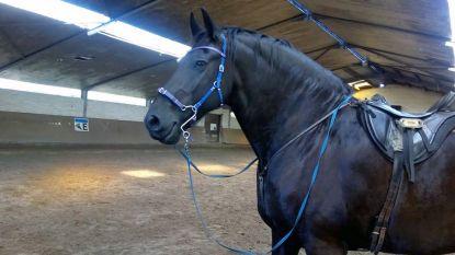 Friese paard 'Milleke' weer terecht