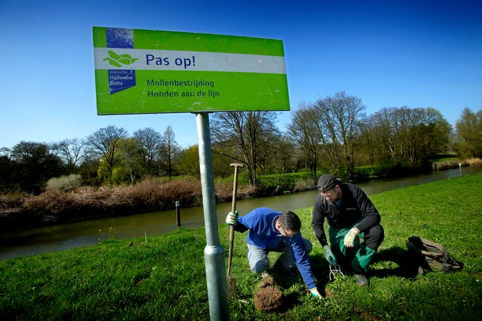 Mollen in de dijken van de Hoeksche Waard hoeven zich geen zorgen meer te maken om mollenvangers.