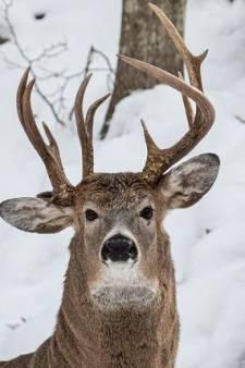"""""""Une chance sur un million"""": un cerf à trois bois photographié dans le Michigan"""