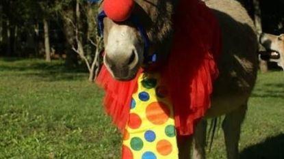 """Geen Ros Beiaardommegang vandaag, maar de Aalsterse prins carnaval houdt de vete levend: """"Deel de foto van deze ezel, als ode aan het Ros"""""""