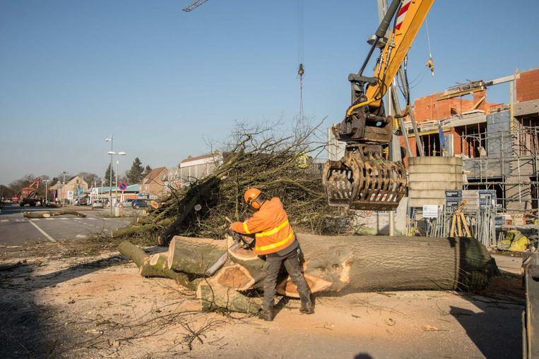 Aan de Koninginnelaan in Eisden gingen gisteren enkele dikke eiken tegen de vlakte.