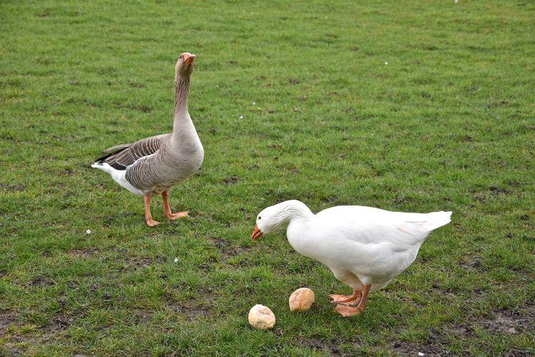 Deze twee ganzen overleefden het wel.