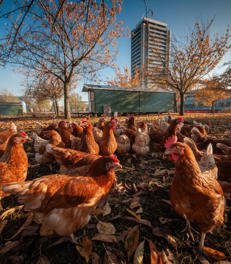 Kippen ruimen het veld voor boerenprotest Brabant
