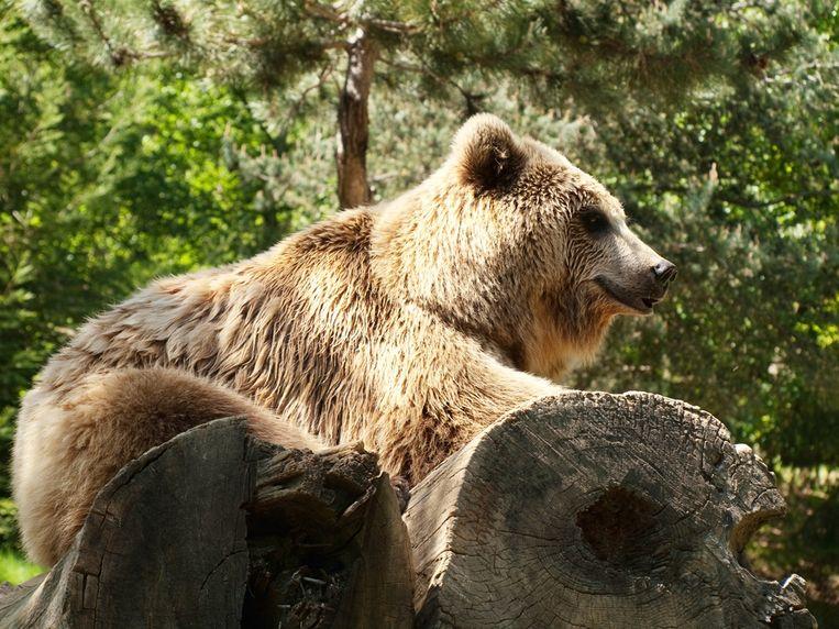 Een bruine beer in de Franse Pyreneeën