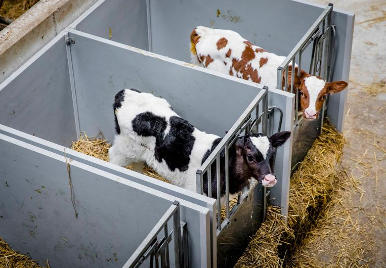 Kalfjes staan op stal bij een melkveehouder. Beeld null