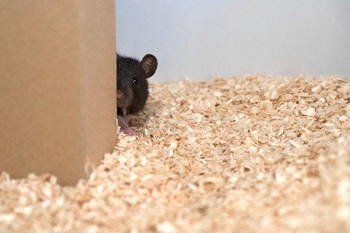 Les rats son des animaux très intelligents et sociables.