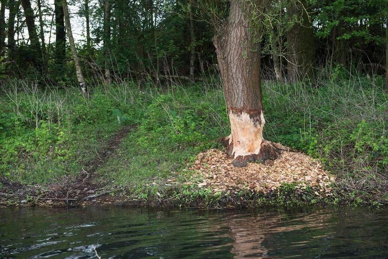 De bever doet het goed in Limburg. Beeld null
