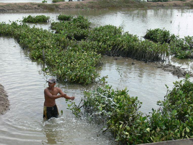 Het herplanten van mangroves in Atjeh. Beeld null