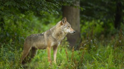 Wolf langer in België dan gedacht: eerste exemplaar kwam twee jaar geleden al naar Wallonië