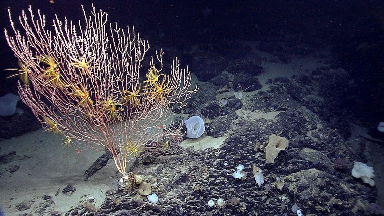 De onderzeese berg Mytilus voor de noordoostkunst van de Verenigde Staten. Beeld AP