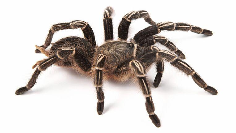 zo geraak je in twee minuten van je angst voor spinnen af wetenschap planeet hln. Black Bedroom Furniture Sets. Home Design Ideas