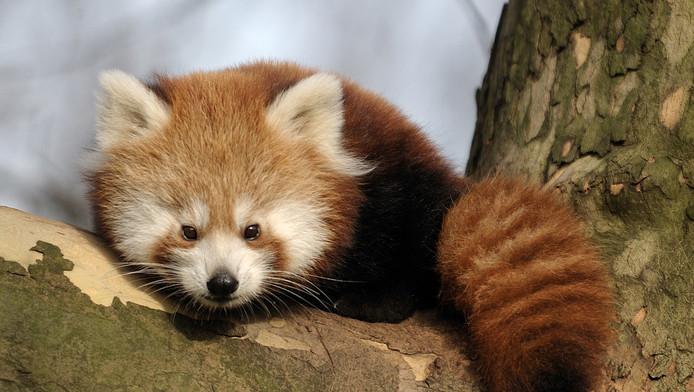 Een rode panda.
