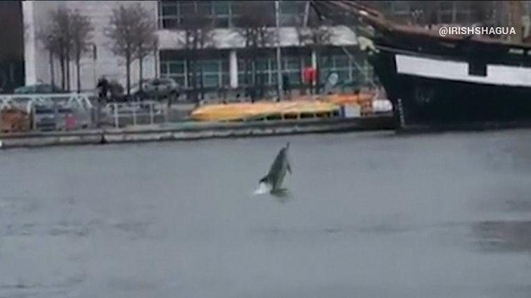 Dolfijn gespot in rivier in Dublin.