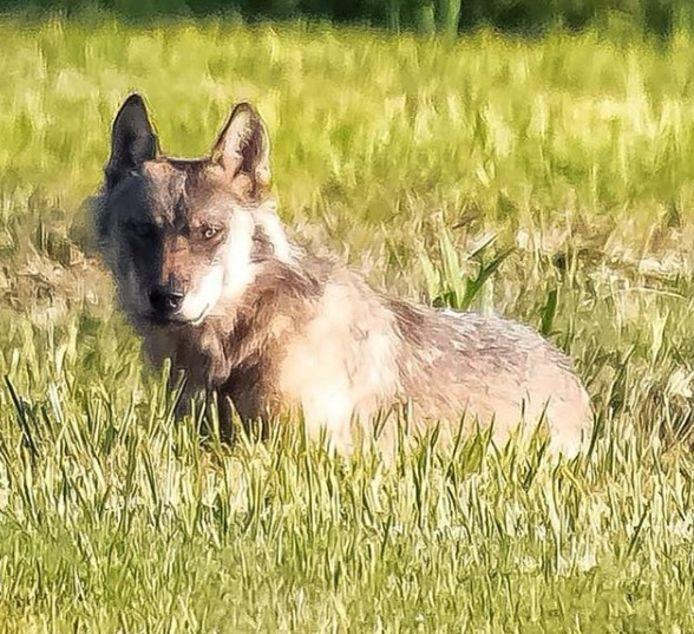 De wolf die toesloeg in de regio, werd onder meer gespot in De Moerputten bij 's-Hertogenbosch
