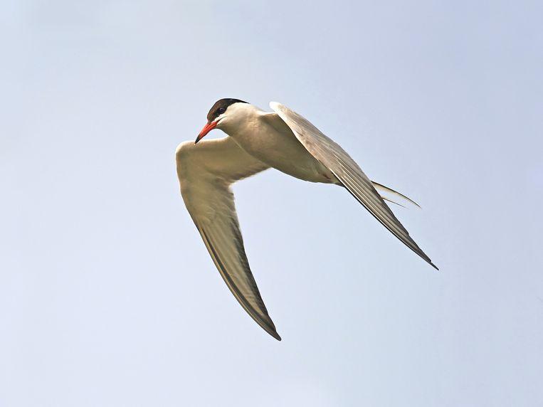 Visdief (Sterna hirundo), verwant aan de noordse stern, broedt in kolonies in kustgebieden, bij voorkeur op eilandjes. Staat als kwetsbaar op de Nederlandse rode lijst. Beeld
