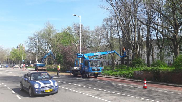 Langs de Catharijnesingel in Utrecht worden vandaag veertien bomen gekapt. Ze moeten plaats maken voor het nieuwe water.