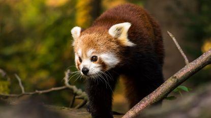 Rode panda op mysterieuze wijze verdwenen uit Frans dierenpark